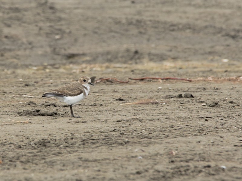 Two-banded Plover - Gonzalo Labarrera