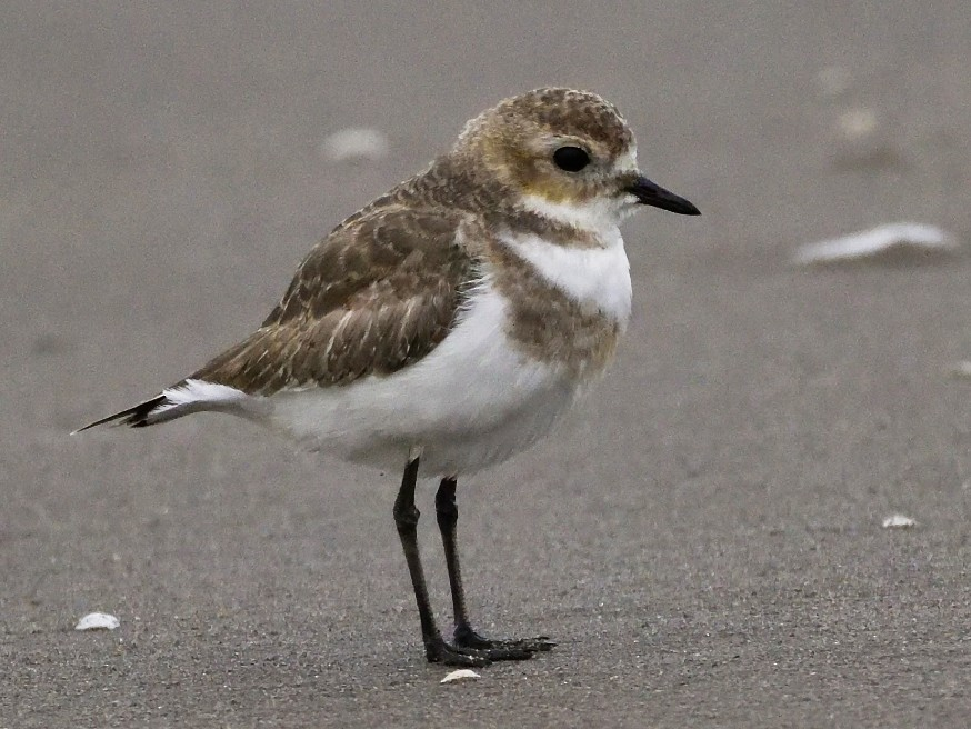 Two-banded Plover - Miguel  Ansenuza
