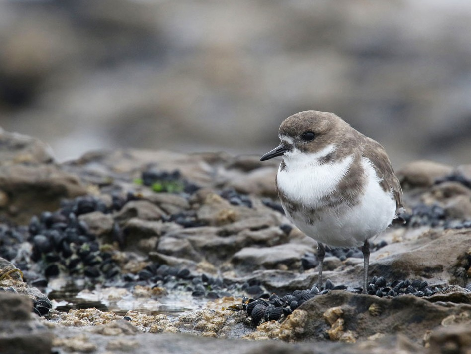 Two-banded Plover - Noah Strycker