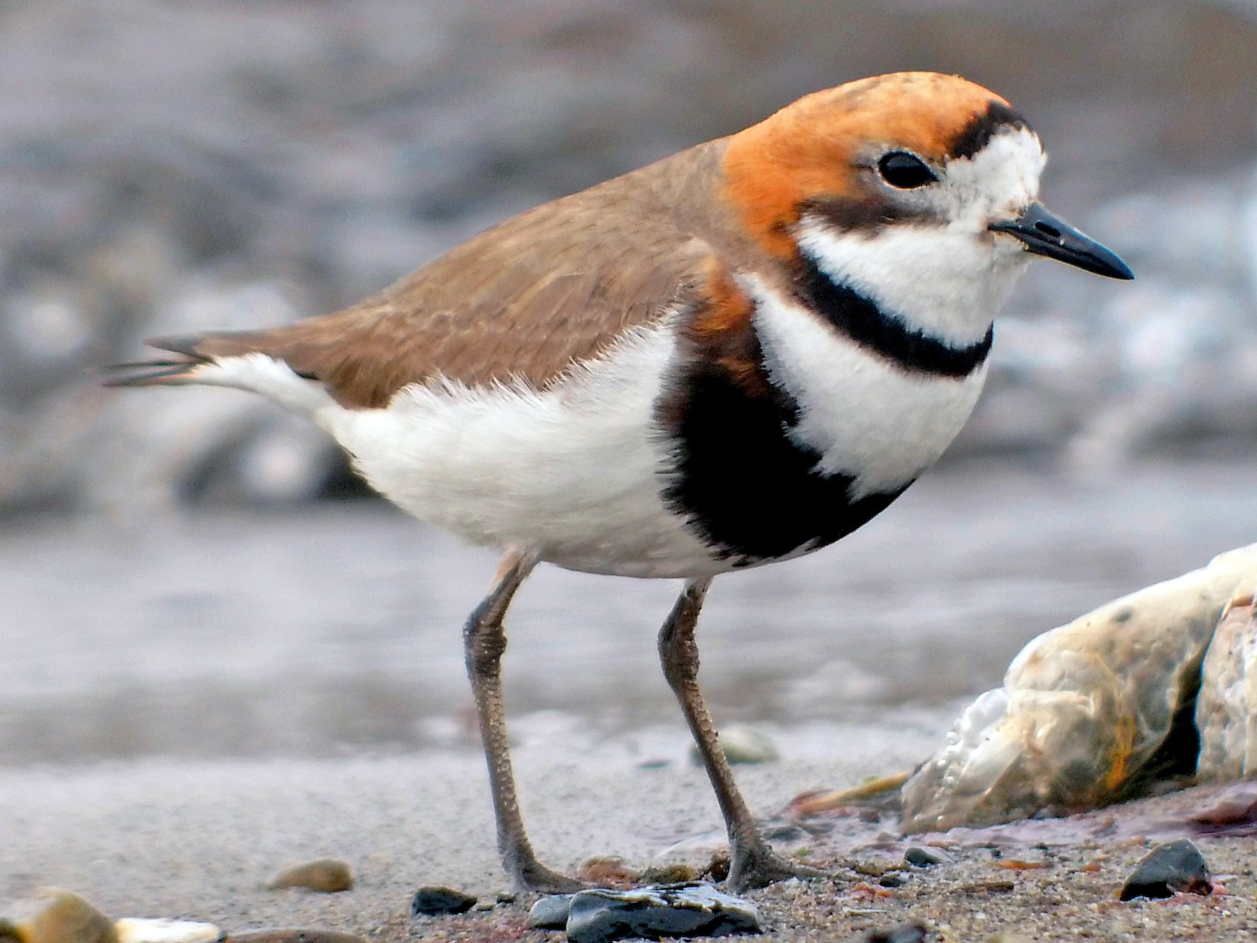 Two-banded Plover - Dominic Cormier