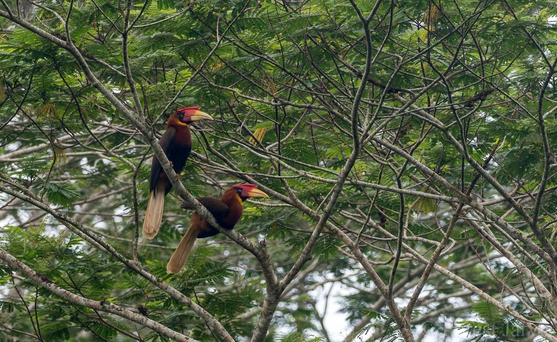 Rufous Hornbill - Forest Jarvis