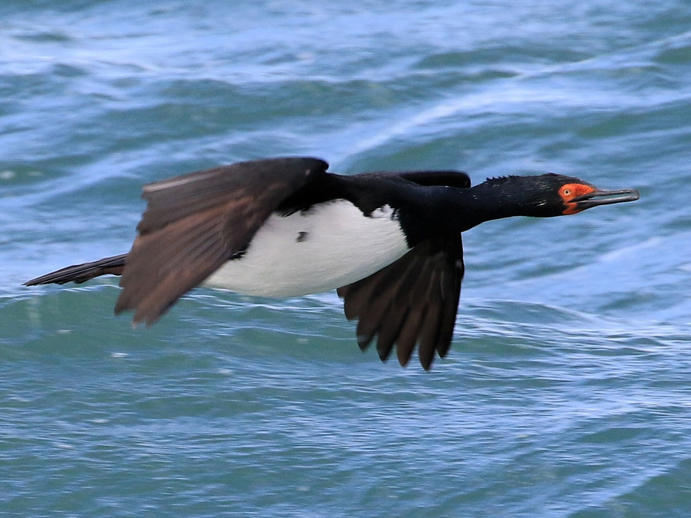 Magellanic Cormorant - Patrick MONNEY