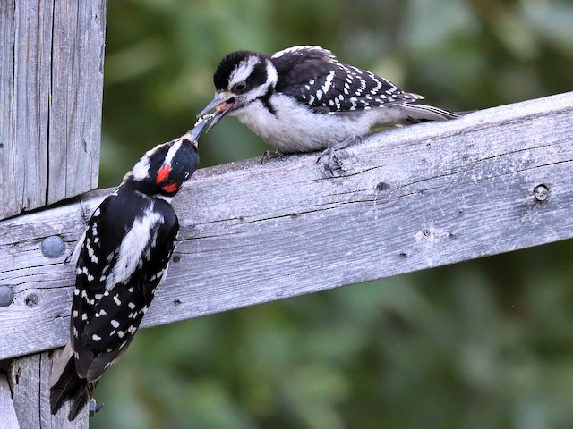 Breeding - Hairy Woodpecker - Dryobates villosus - Birds of the World