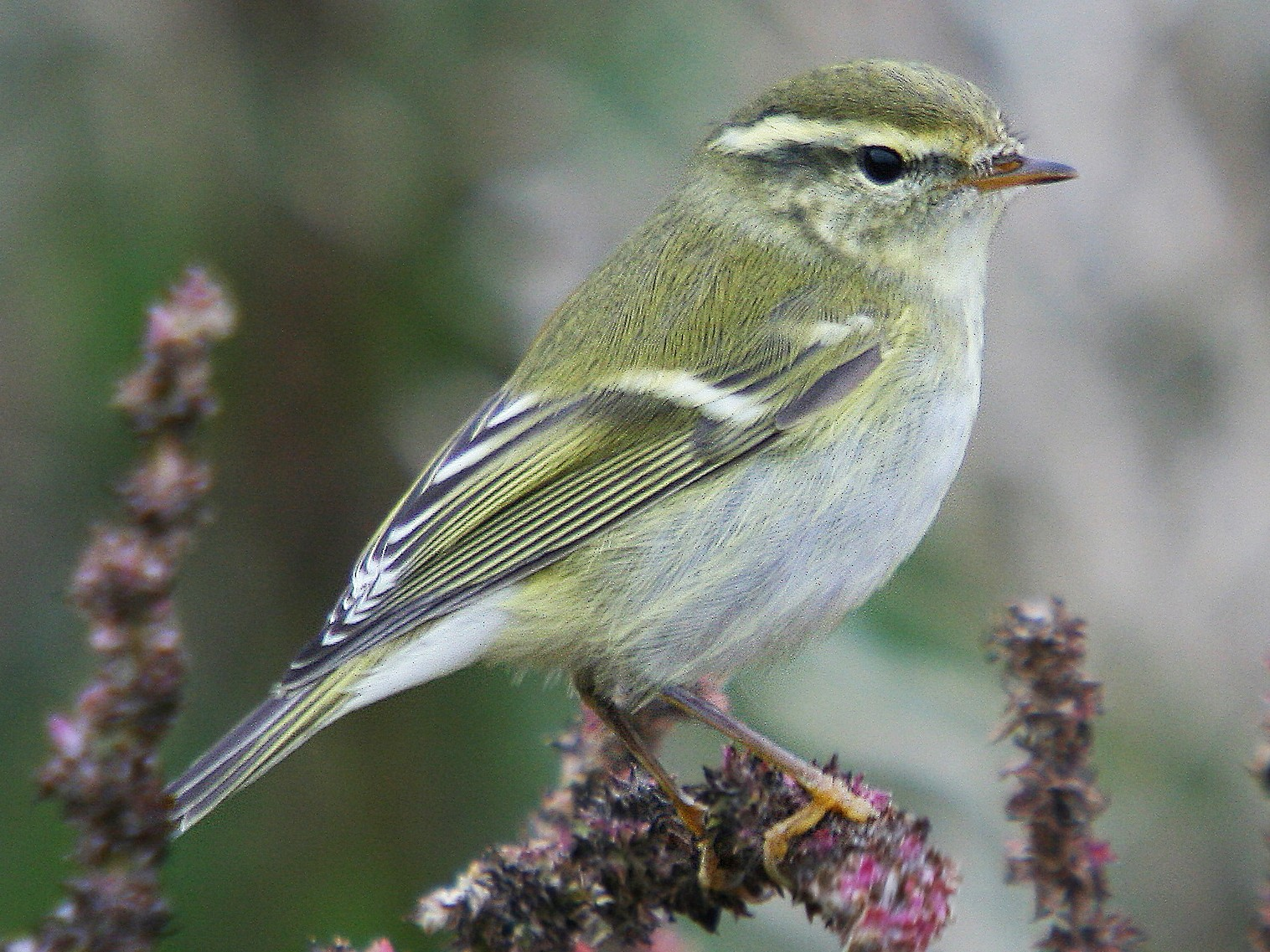 Yellow-browed Warbler - Christoph Moning