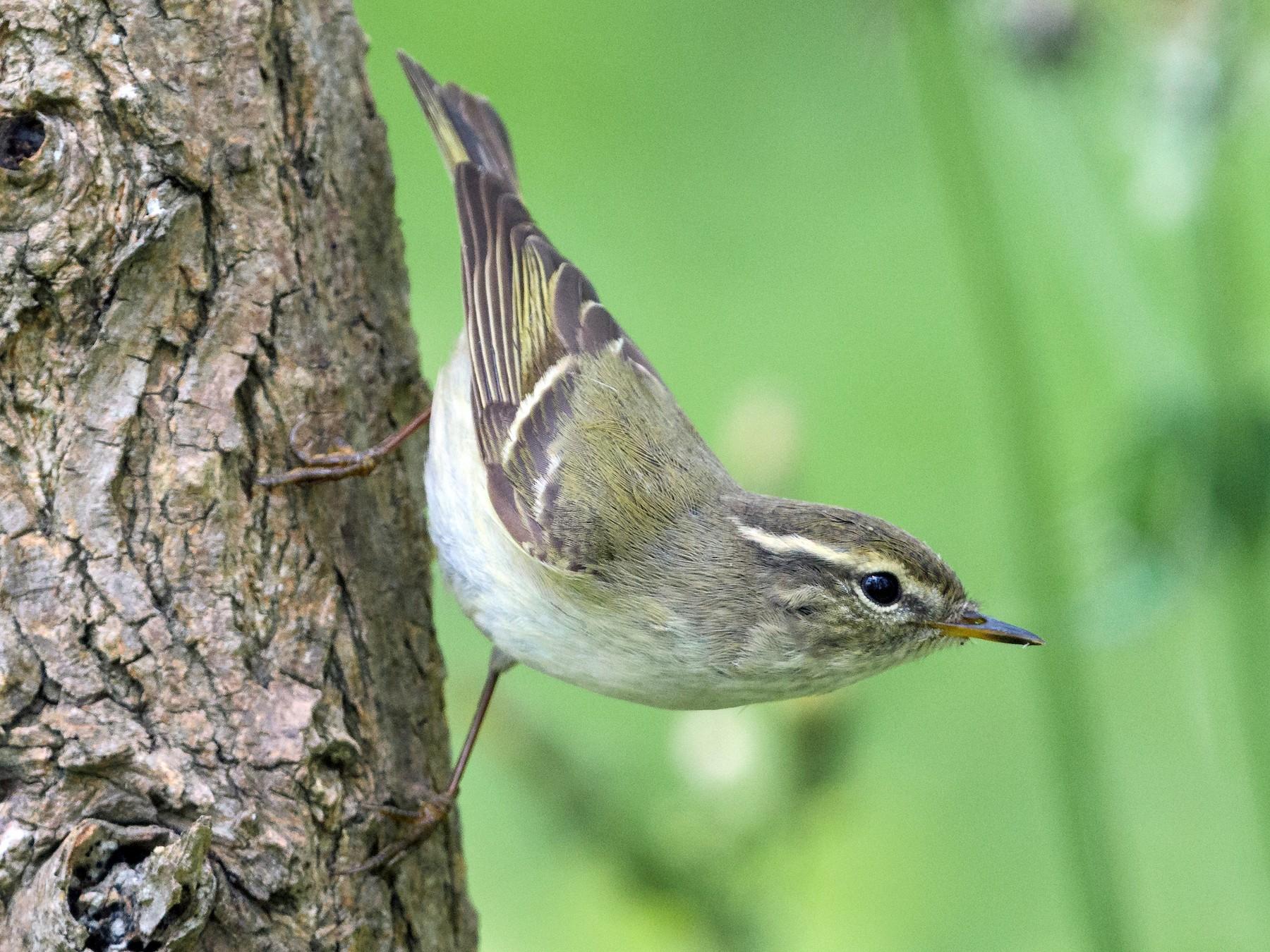 Yellow-browed Warbler - Charles Wu