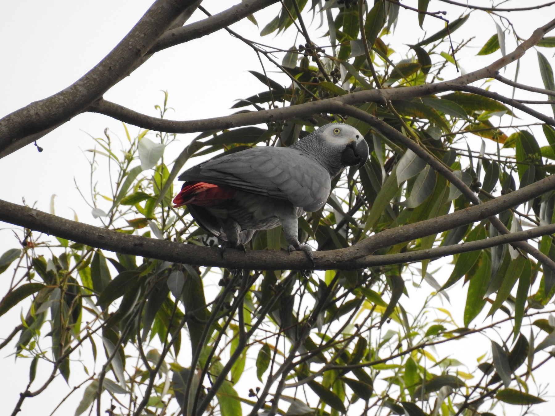 Gray Parrot - Marcie  Jacklin