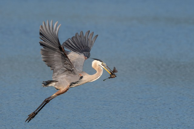 © William Higgins - Great Blue Heron