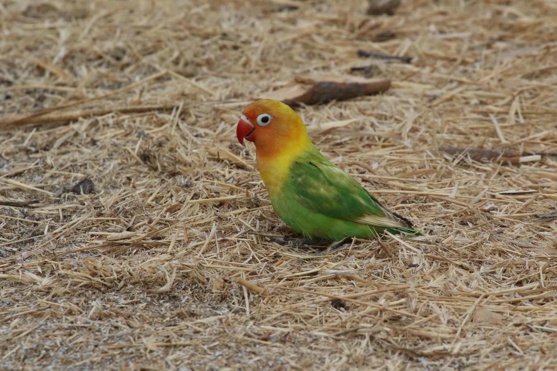 Fischer's Lovebird - Ray Birder