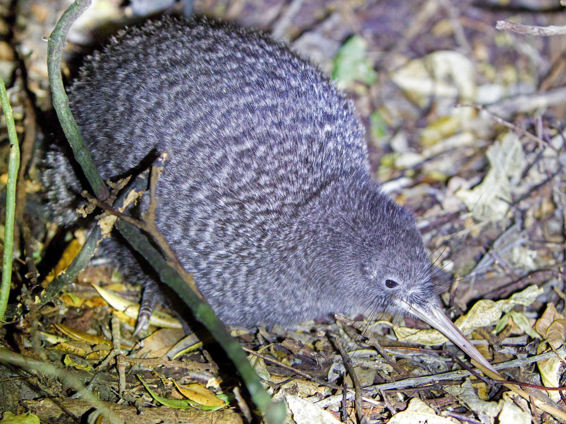 Little Spotted Kiwi - Laurie Ross   Tracks Birding & Photography Tours