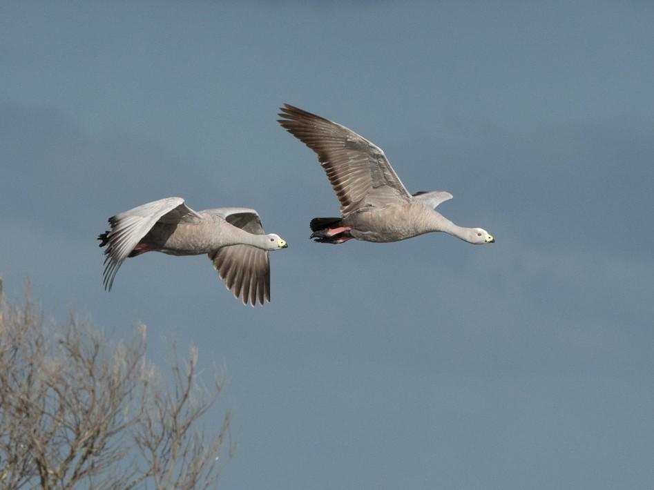 Cape Barren Goose - Sonja Ross