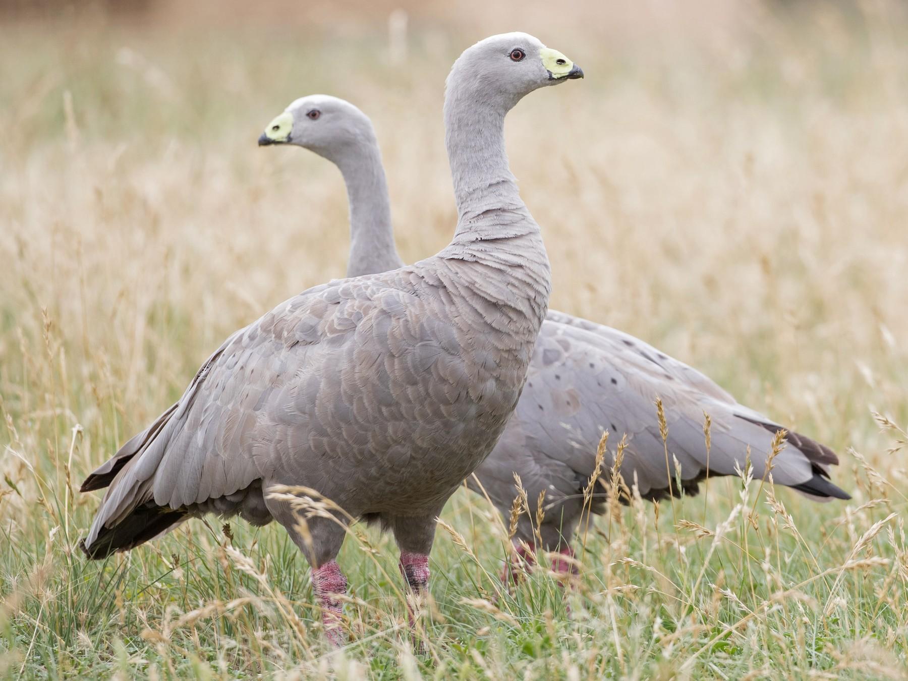 Cape Barren Goose - Ian Davies