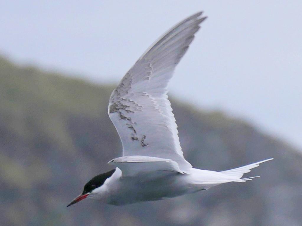 Antarctic Tern - Peter Lowe