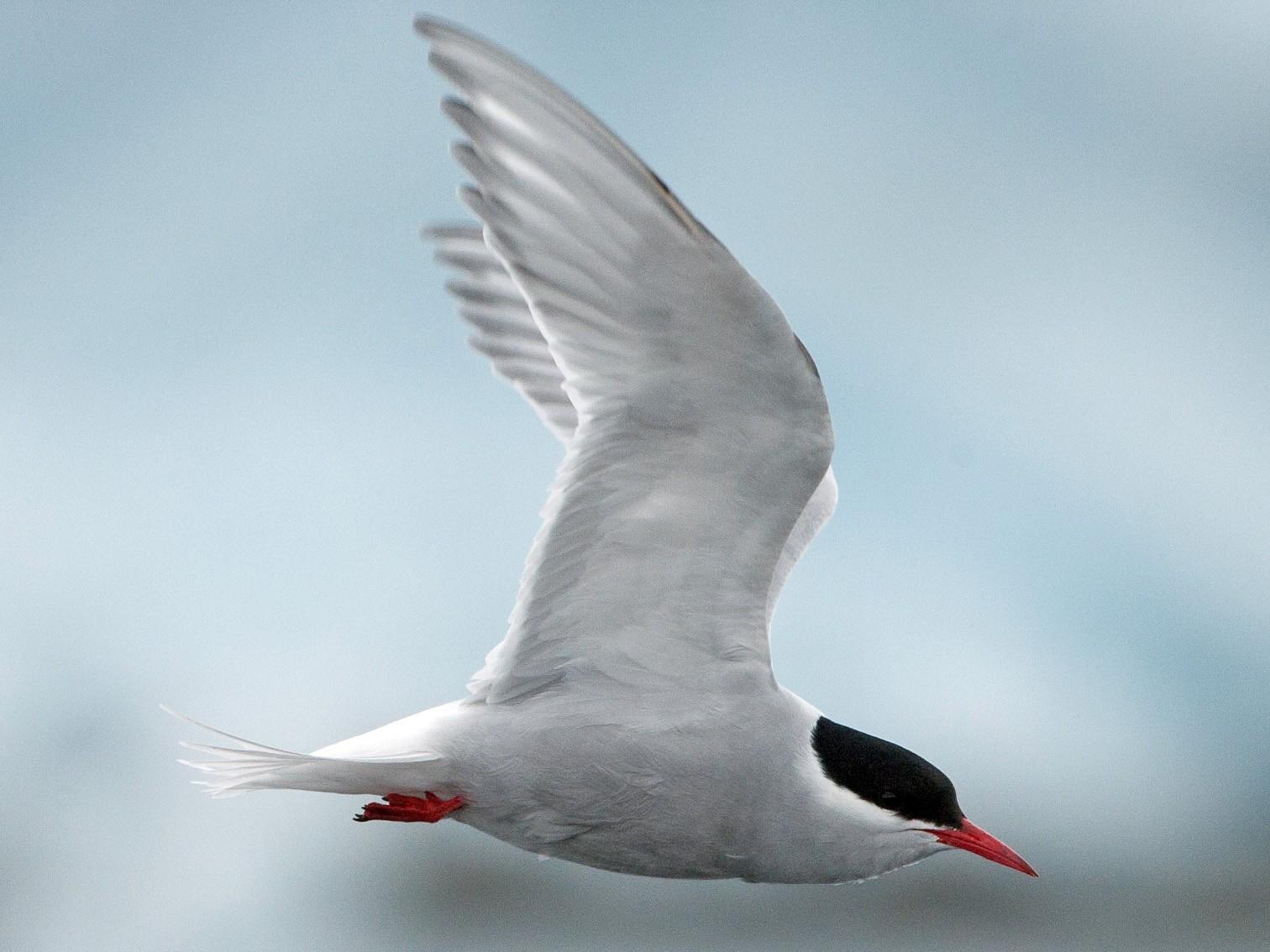 Antarctic Tern - Chris Wood