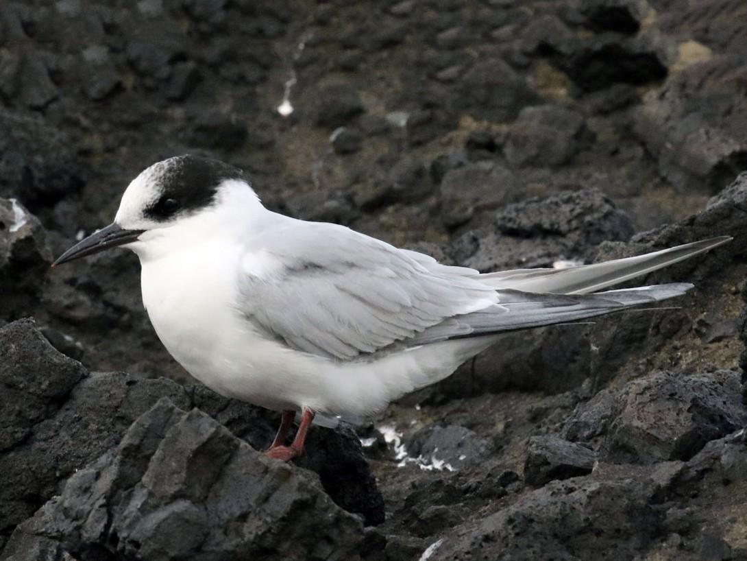 Antarctic Tern - Noah Strycker