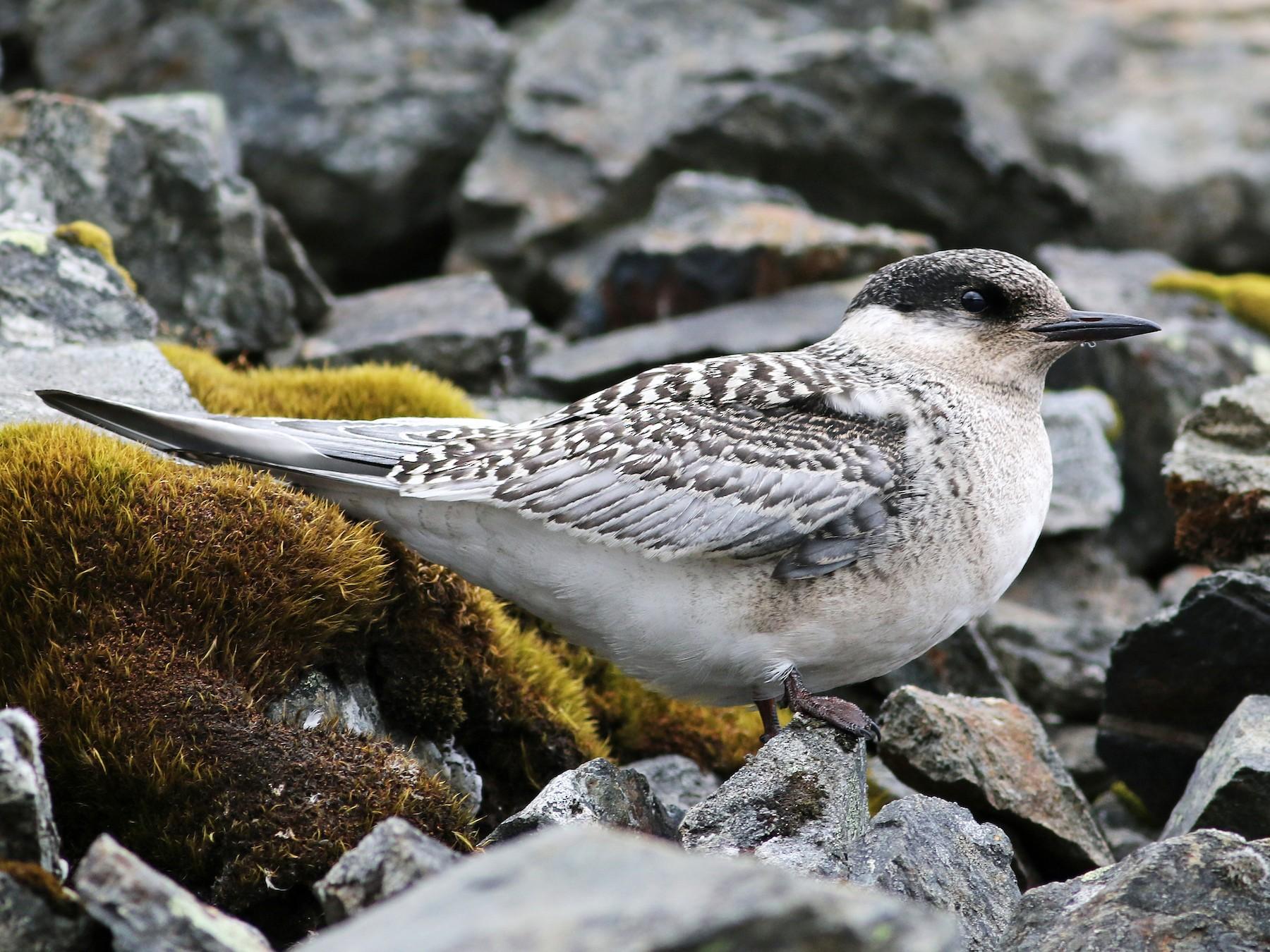 Antarctic Tern - Andrew Spencer