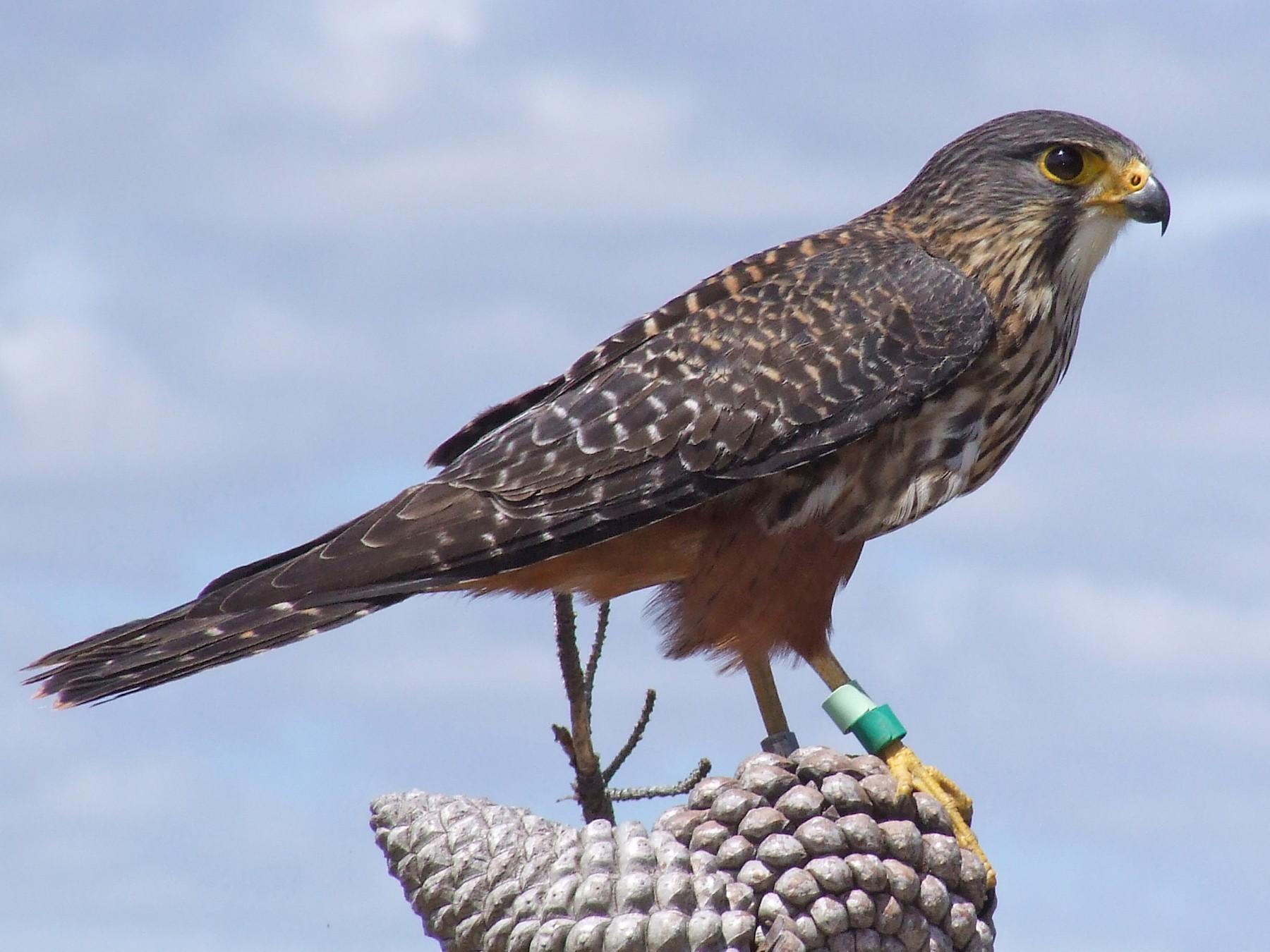 New Zealand Falcon - Shane McPherson