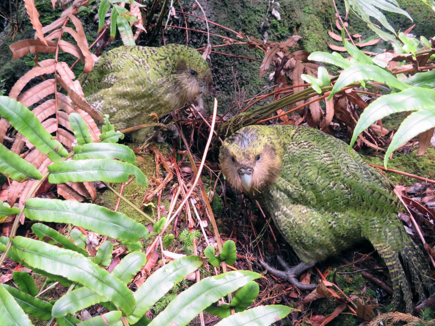 Kakapo - Maggie Evans