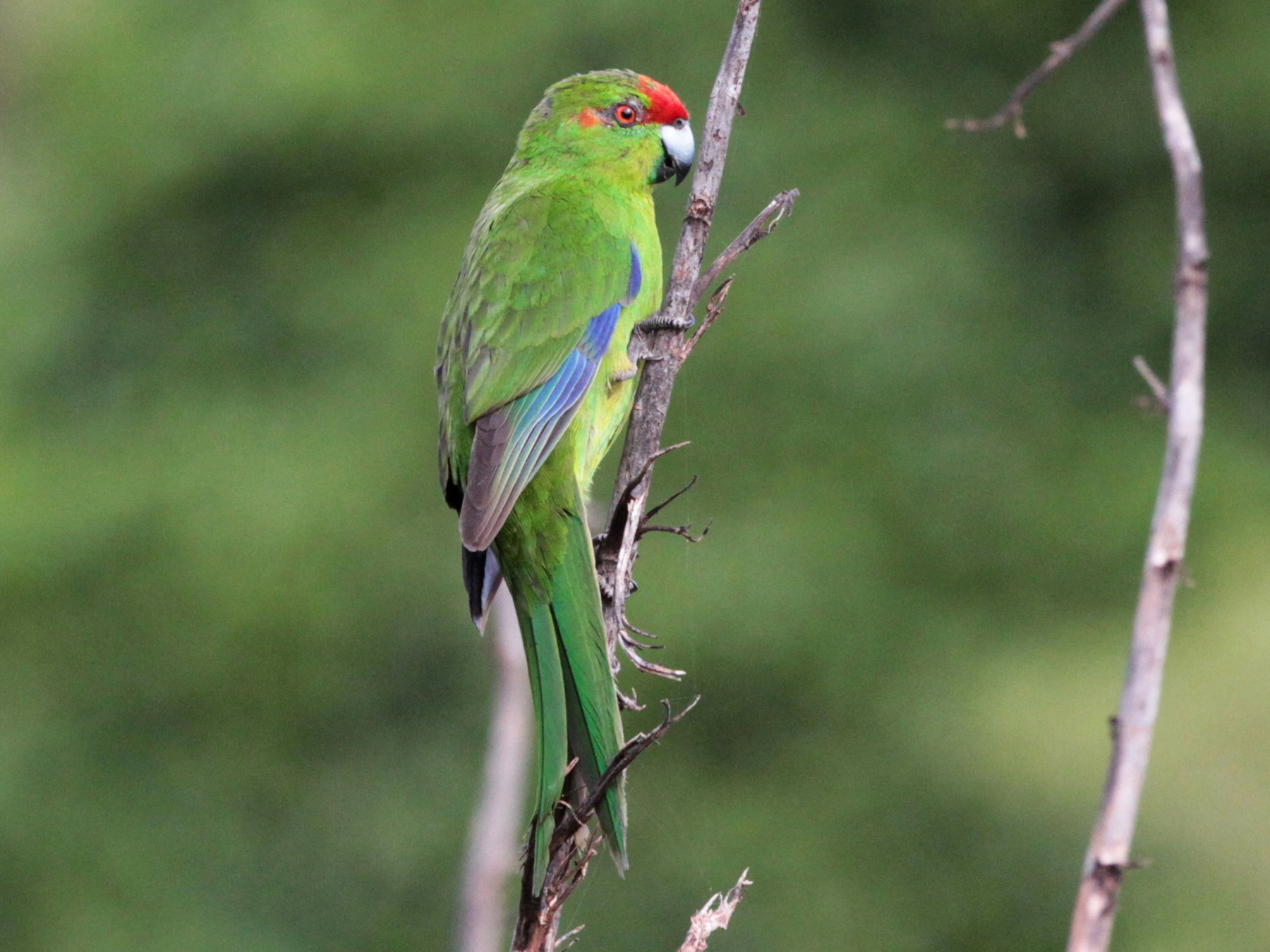 Red-crowned Parakeet - Corey Callaghan
