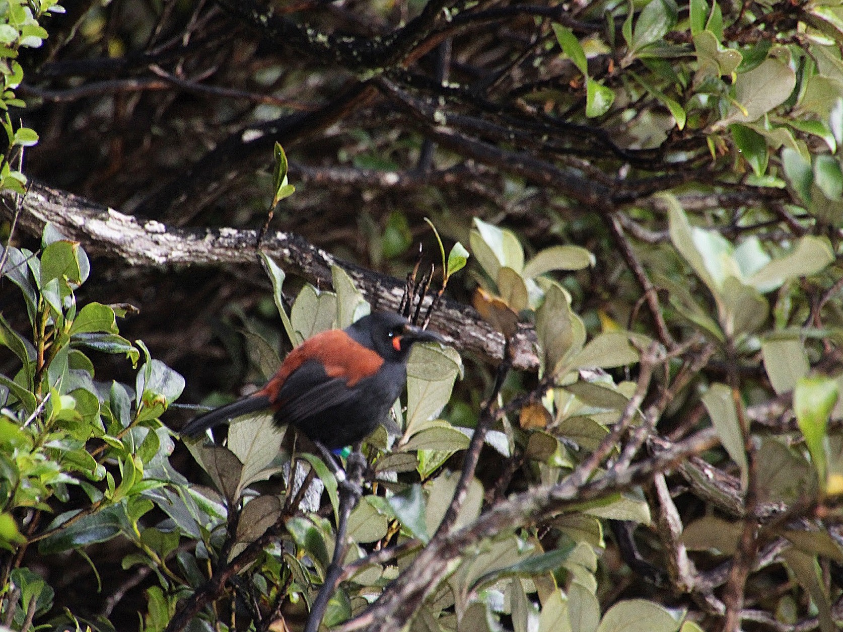 South Island Saddleback - Nancy Braun