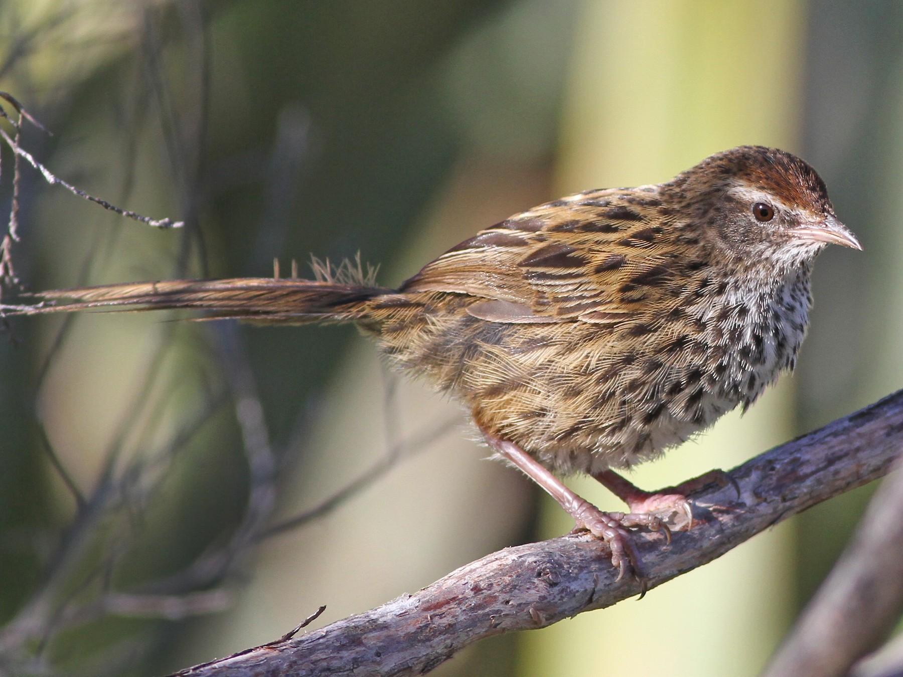 New Zealand Fernbird - Chris Wiley