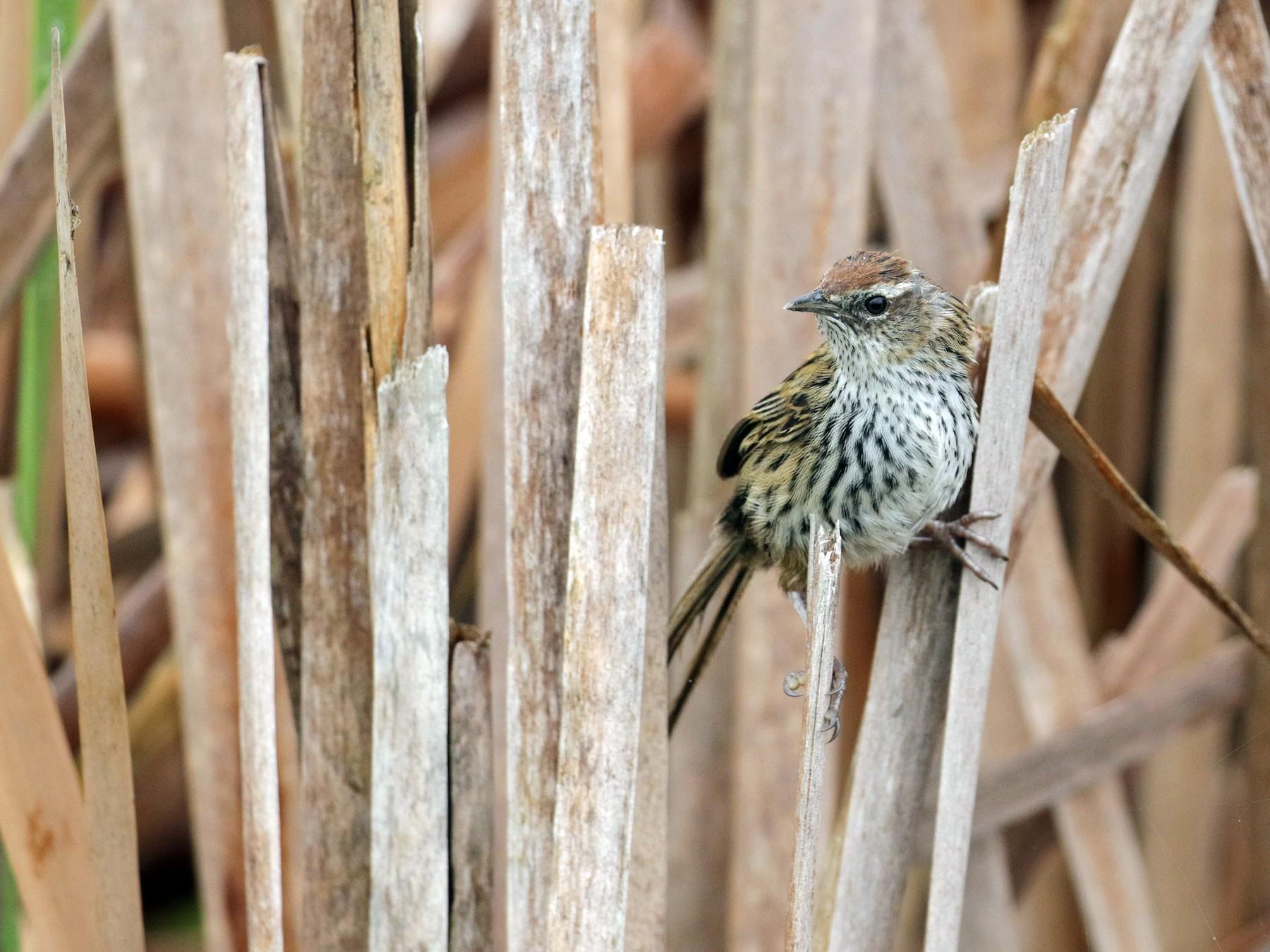 New Zealand Fernbird - Cameron Eckert