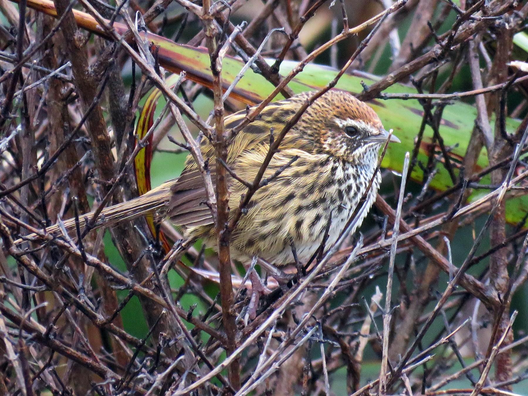 New Zealand Fernbird - Karen Rose