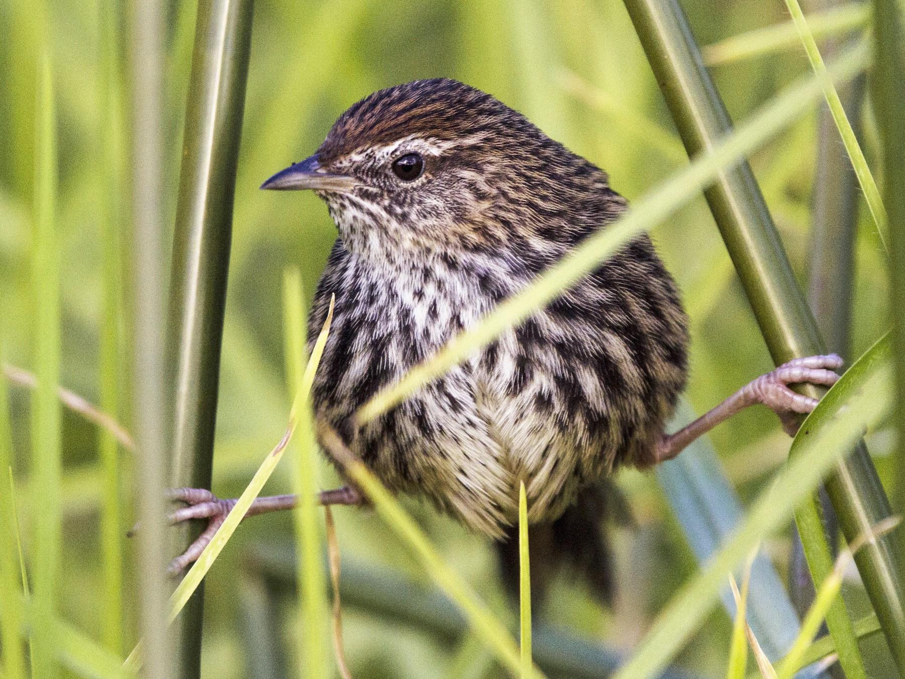 New Zealand Fernbird - Oscar Thomas