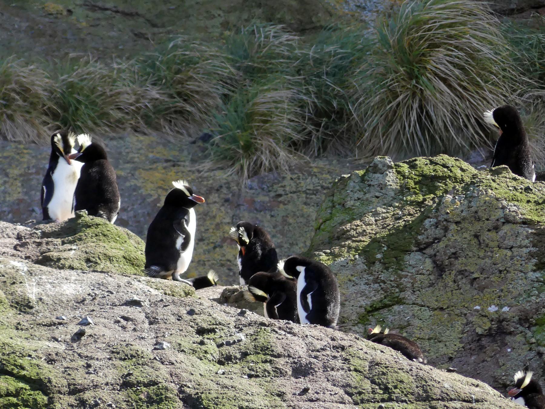 Erect-crested Penguin - Peter Kaestner