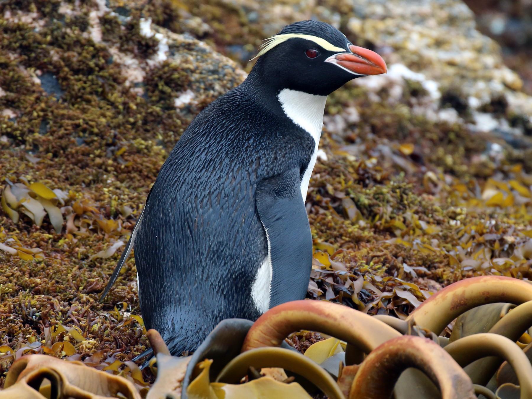 Snares Penguin - Geoff de Lisle