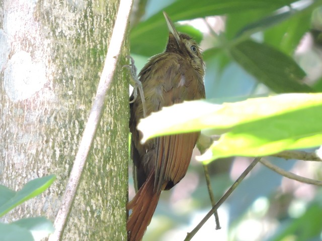 Cocoa Woodcreeper (Lawrence's)