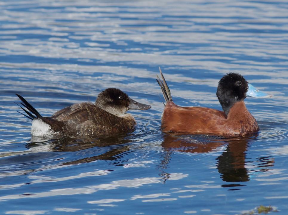 Andean Duck - Stanton Hunter