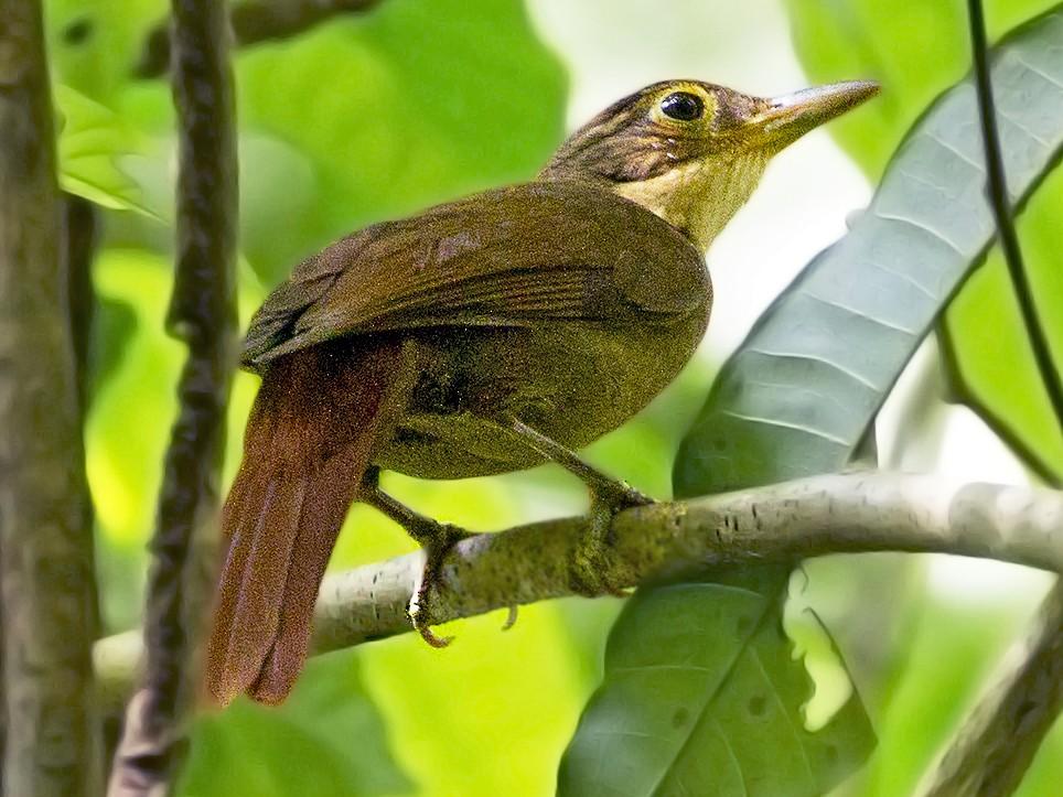 Chiriqui Foliage-gleaner - Charley Hesse TROPICAL BIRDING