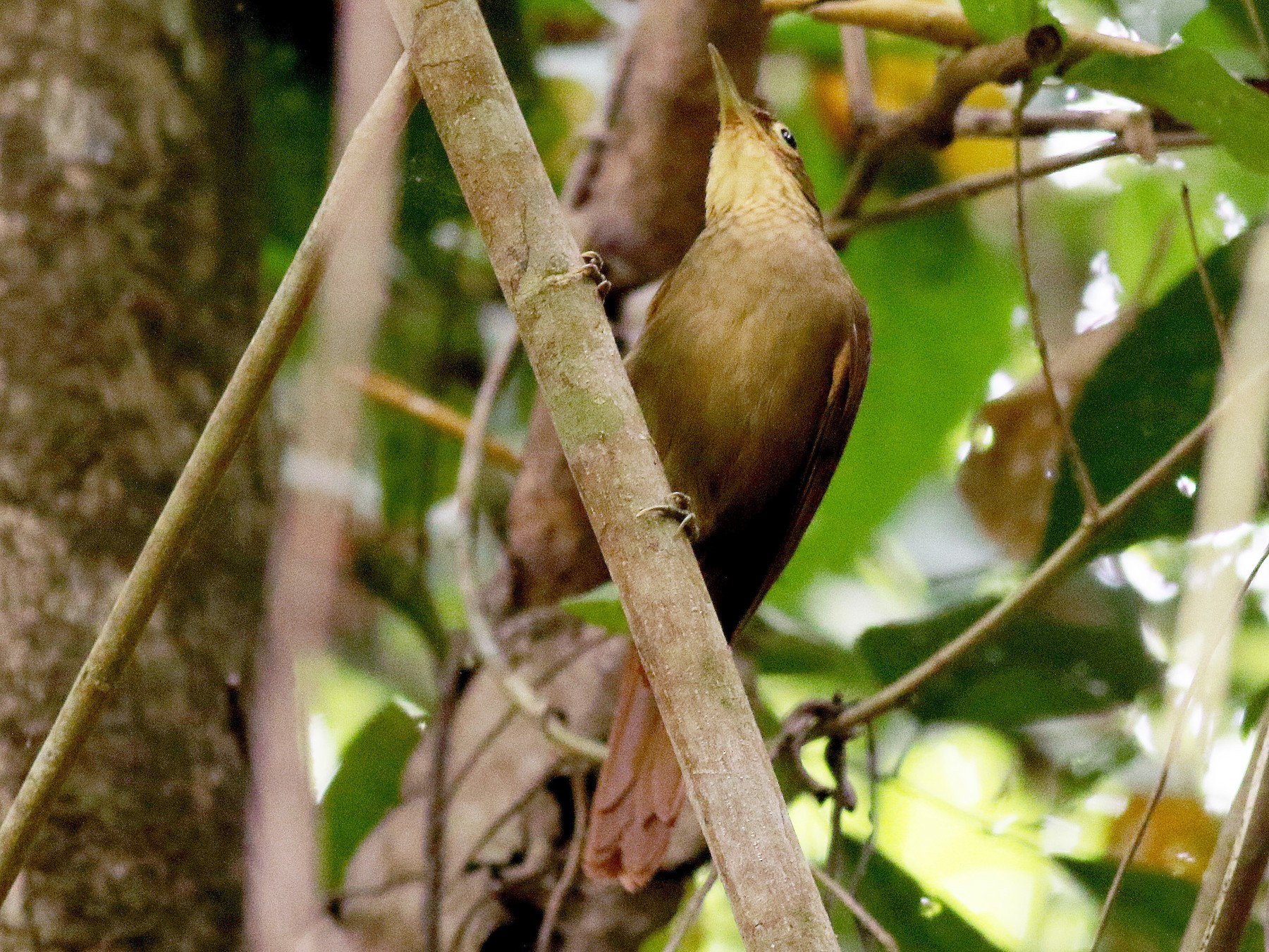 Chiriqui Foliage-gleaner - Jay McGowan