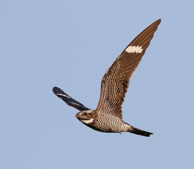 ©Scott Surner - Common Nighthawk