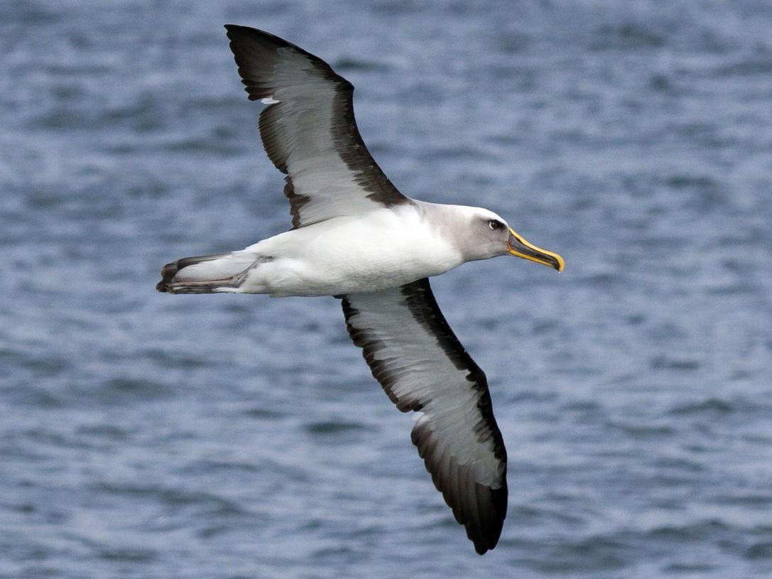 Buller's Albatross - Ivo Tejeda
