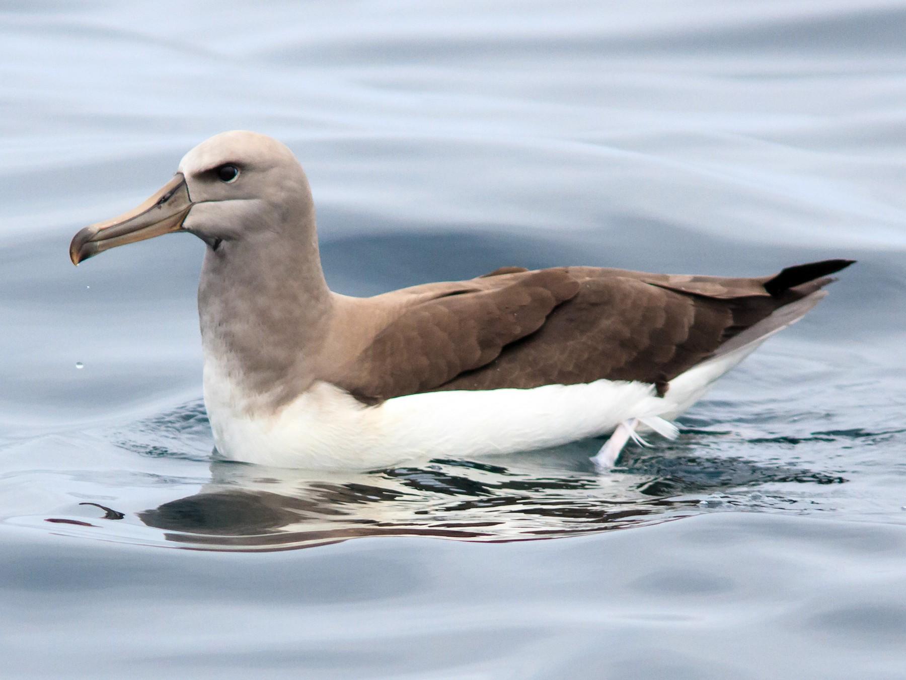Buller's Albatross - Eric Kershner