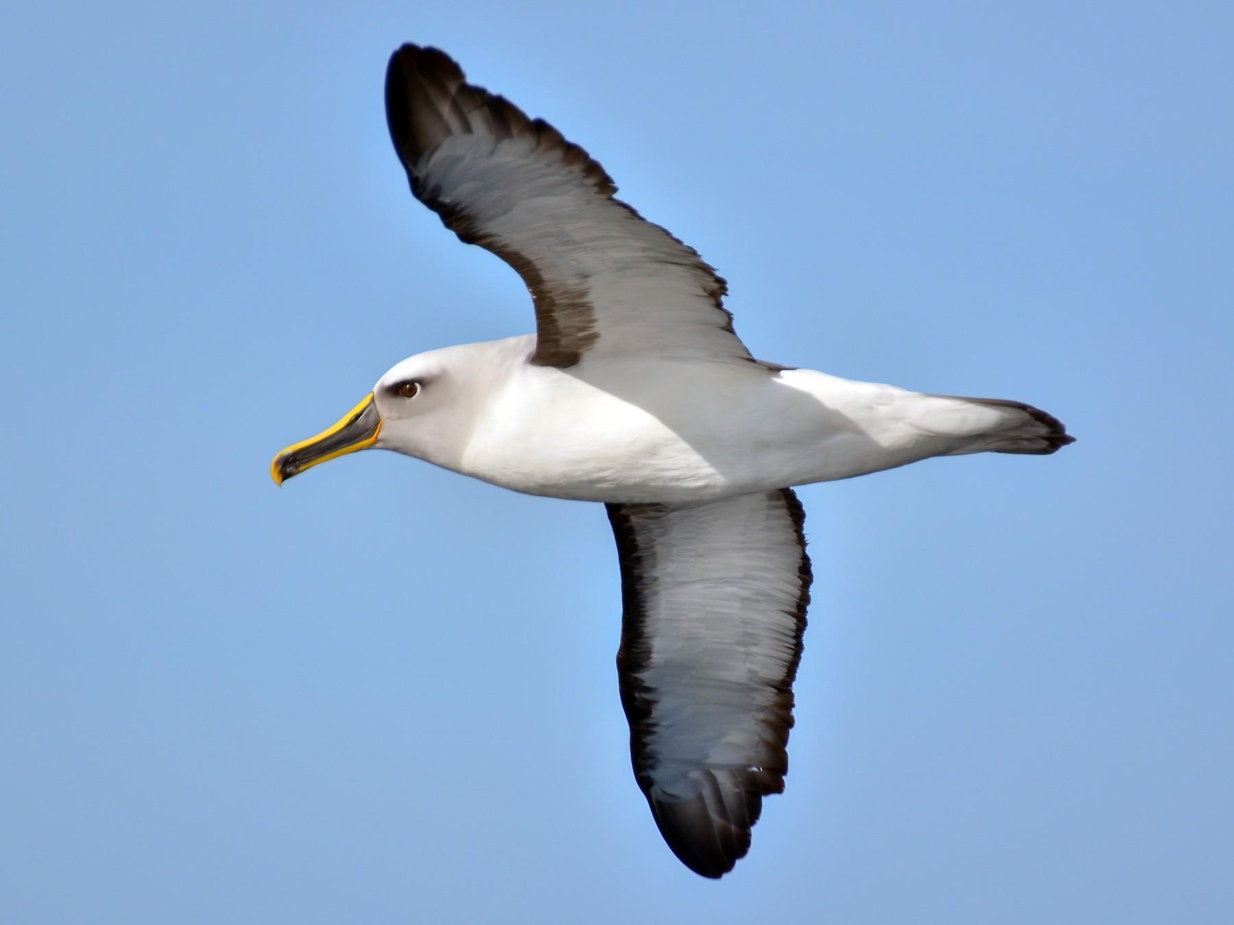 Buller's Albatross - Pablo Gutiérrez Maier