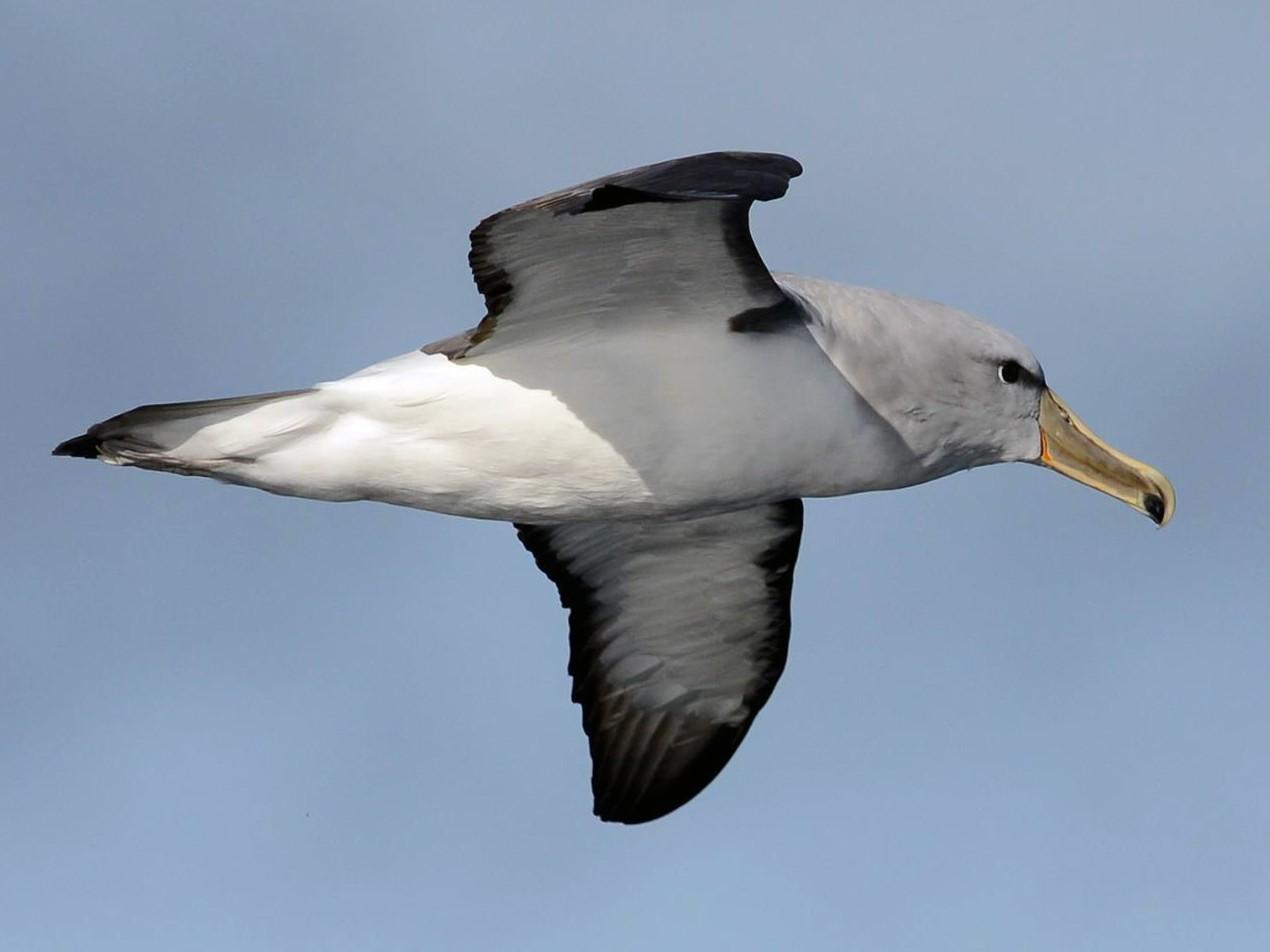 Salvin's Albatross - Angus Hartshorn