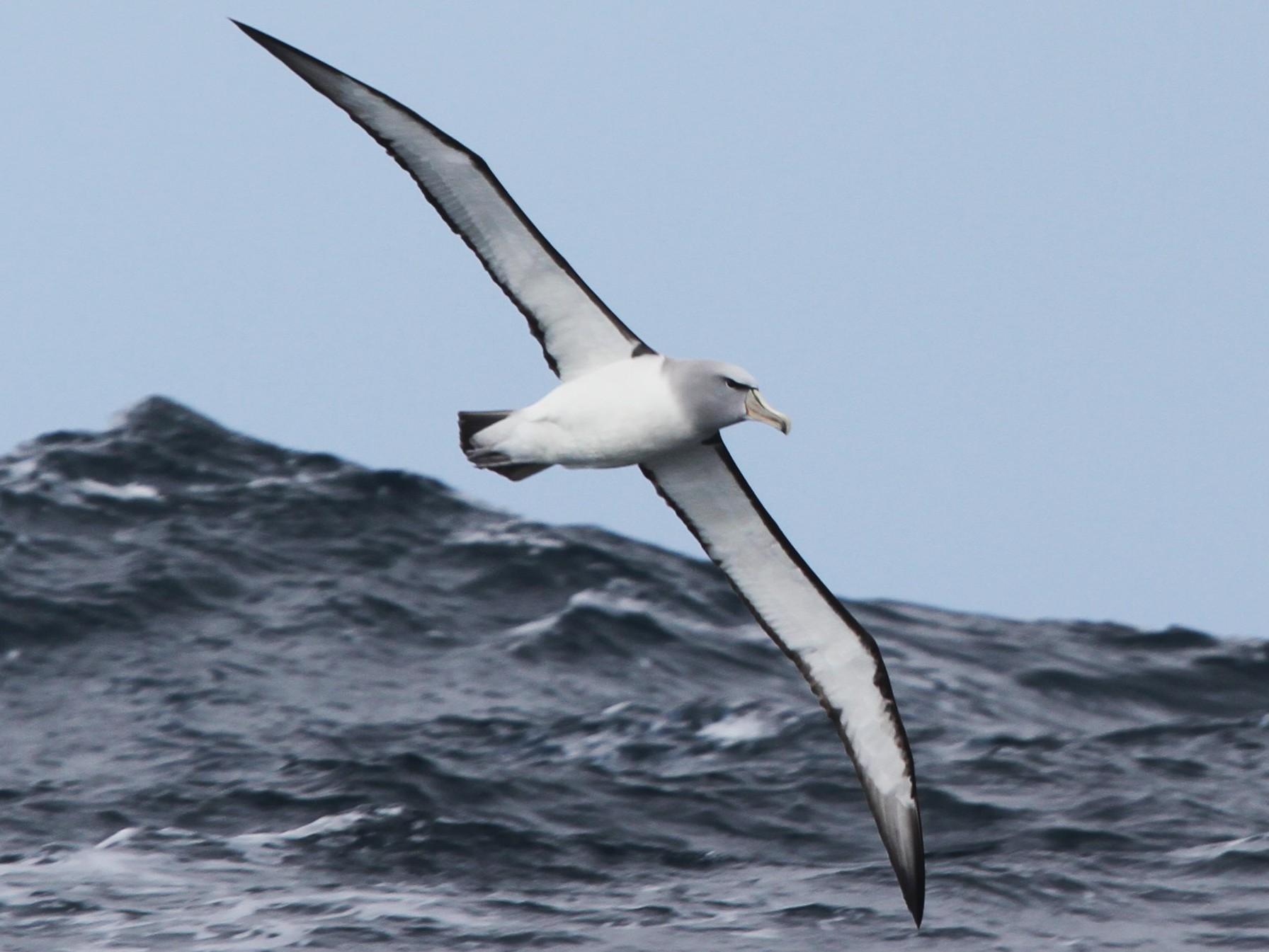 Salvin's Albatross - James (Jim) Holmes