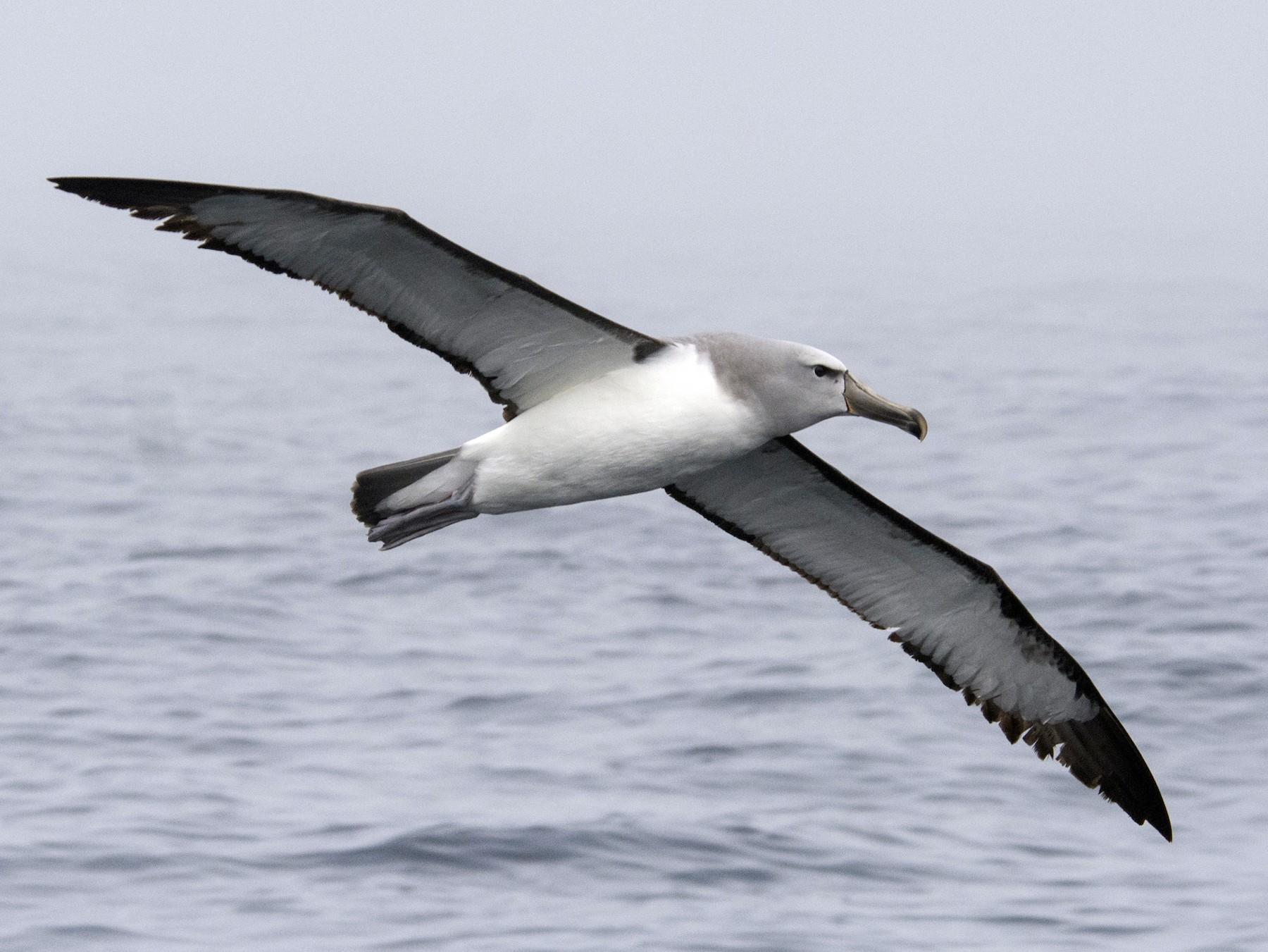 Salvin's Albatross - Cristian Pinto