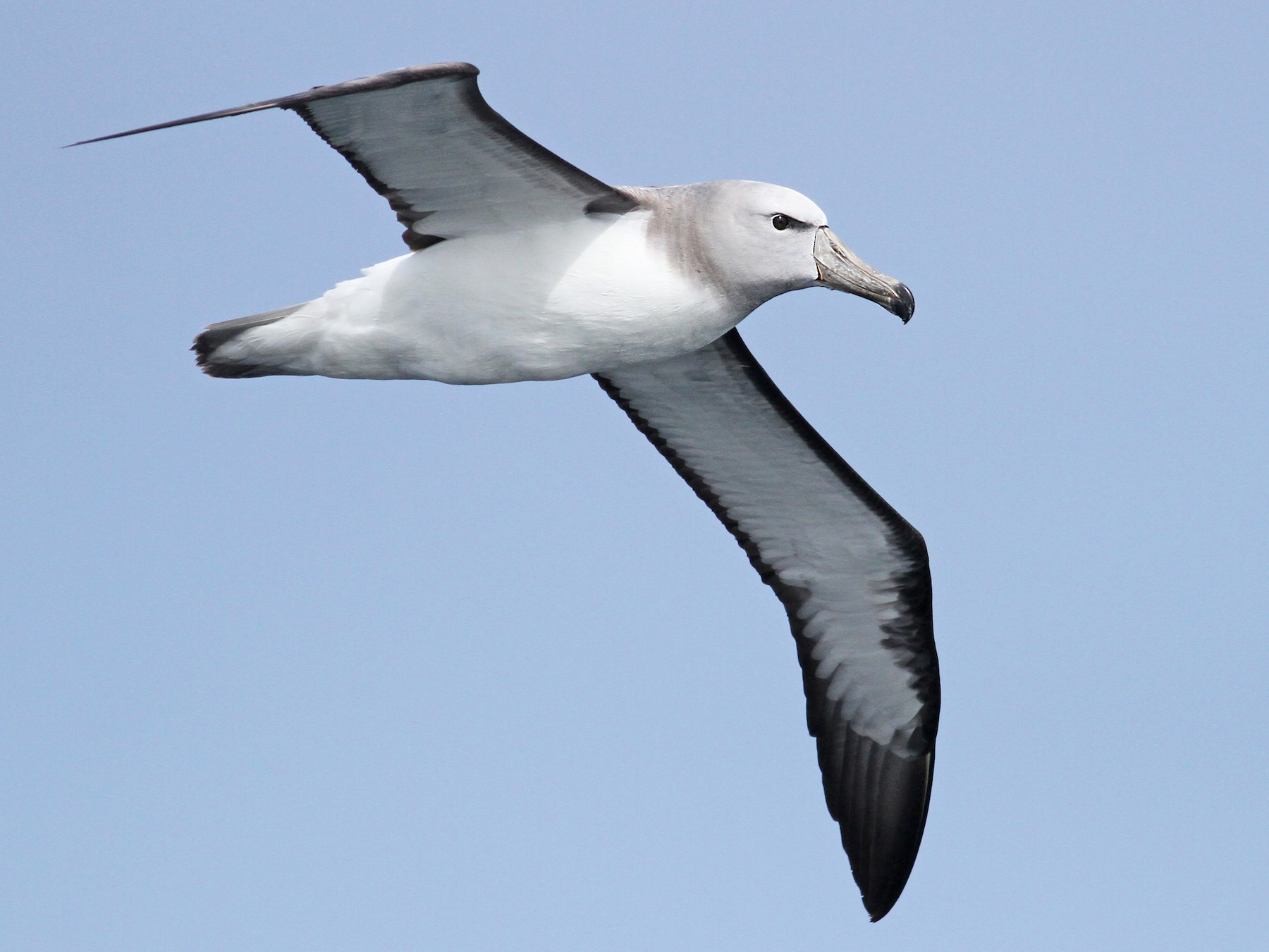 Salvin's Albatross - Luke Seitz