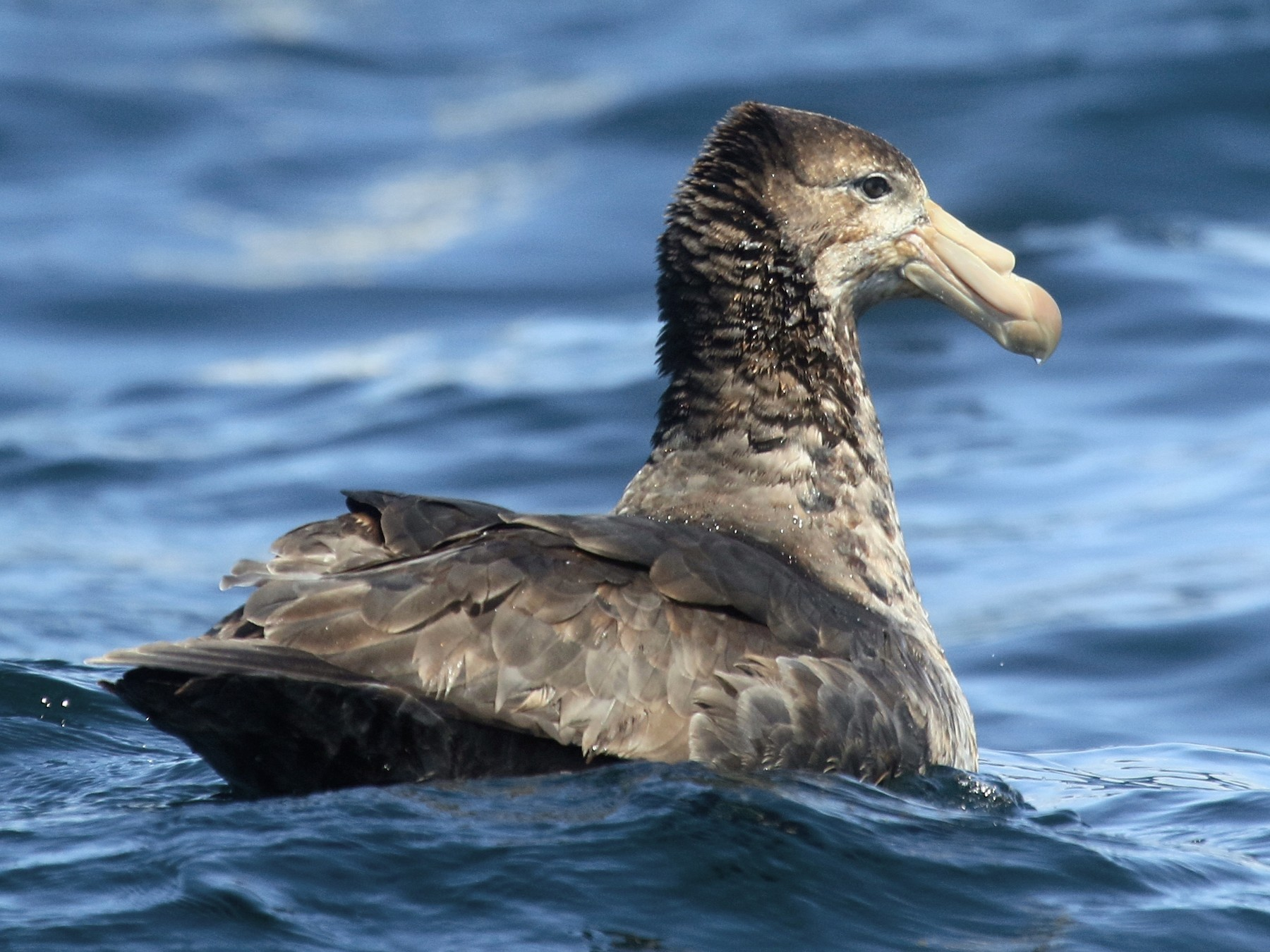 Northern Giant-Petrel - Roger Zachary