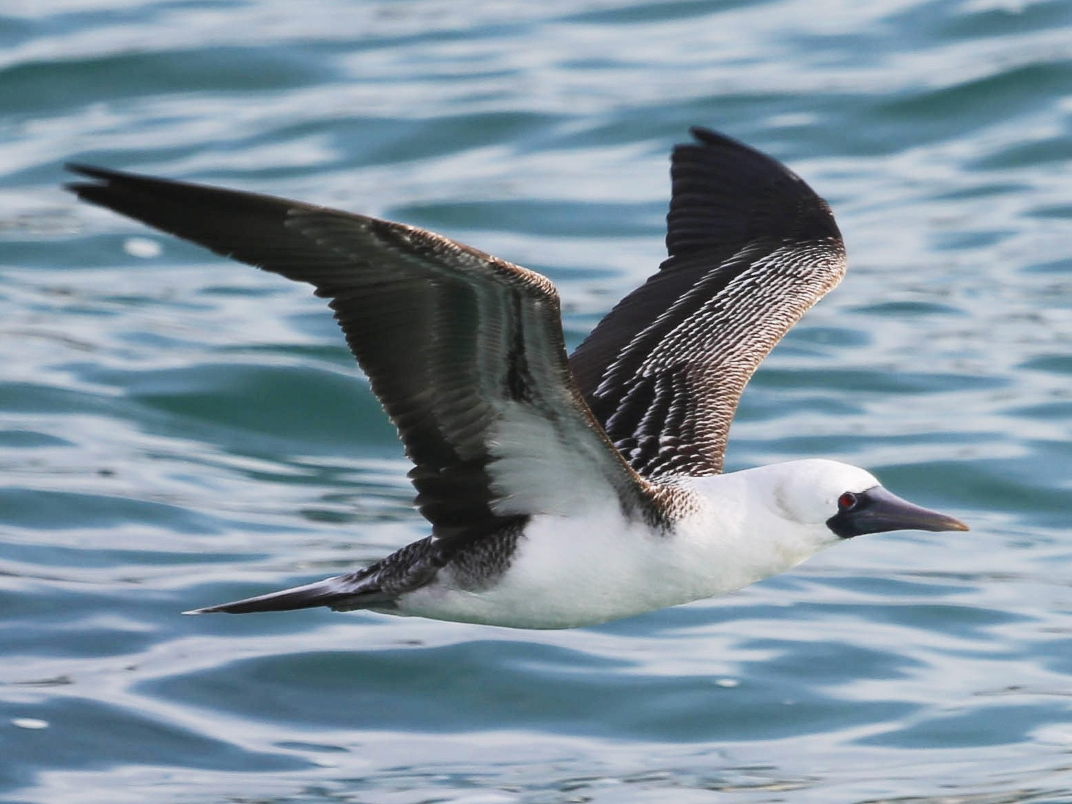 Peruvian Booby - Phil Kenny