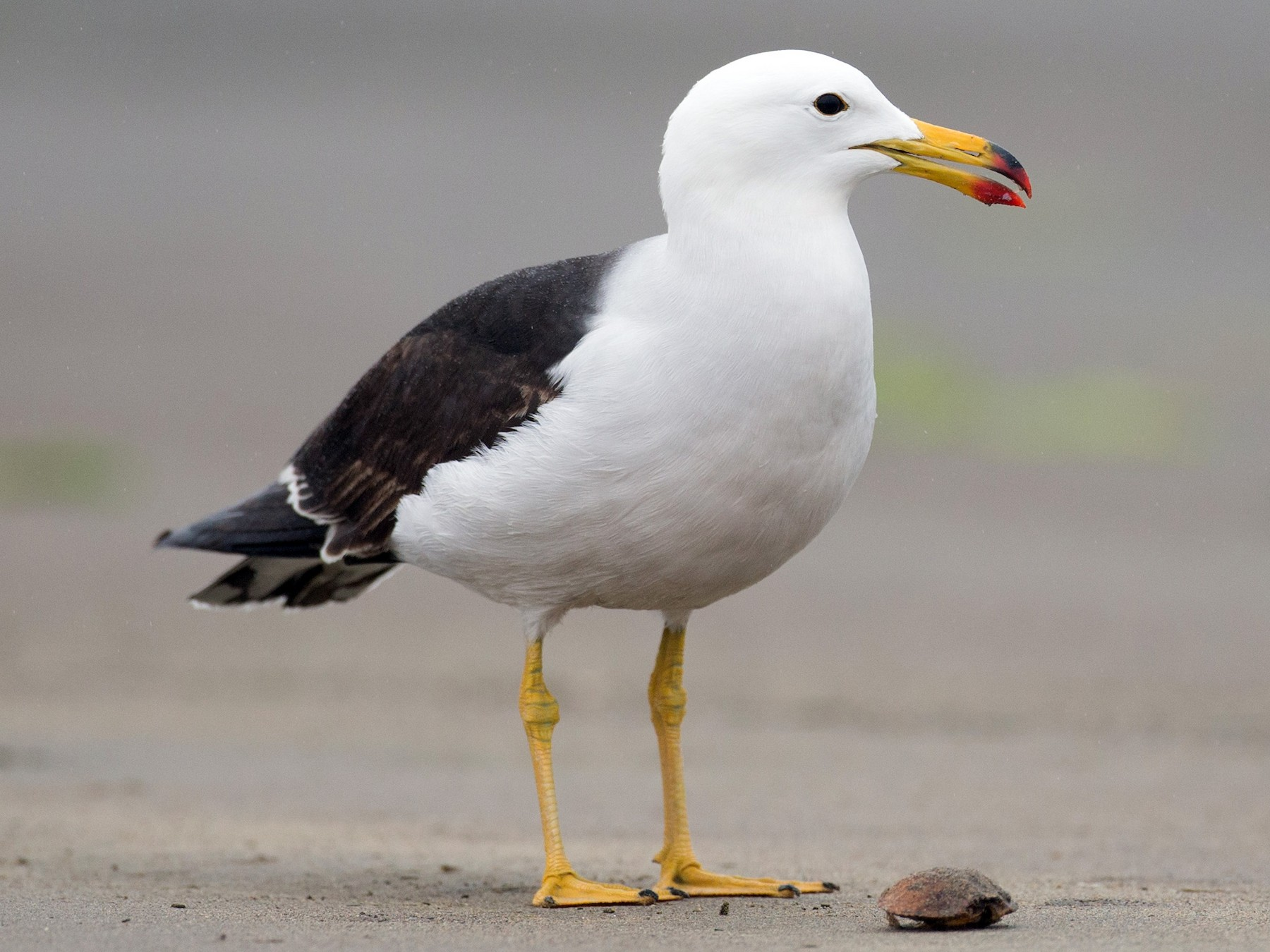 Belcher's Gull - Chris Wood