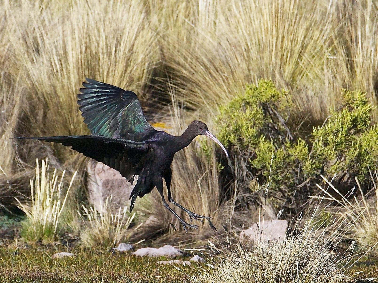 Puna Ibis - Eric Barnes