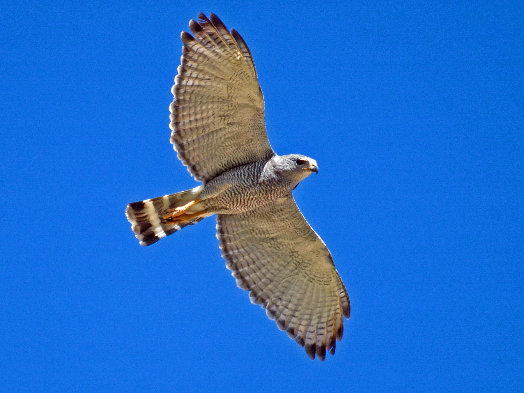 Gray Hawk - Patrick Maurice