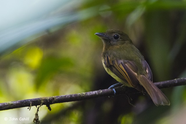 Fulvous-breasted Flatbill