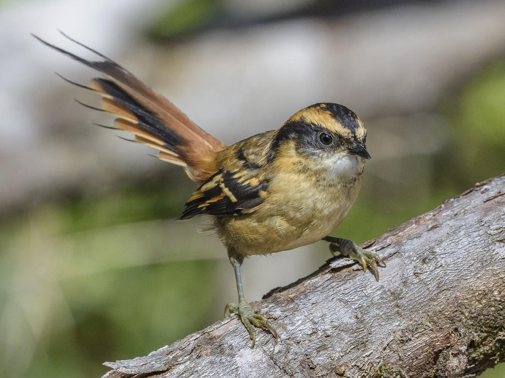 Thorn-tailed Rayadito - VERONICA ARAYA GARCIA