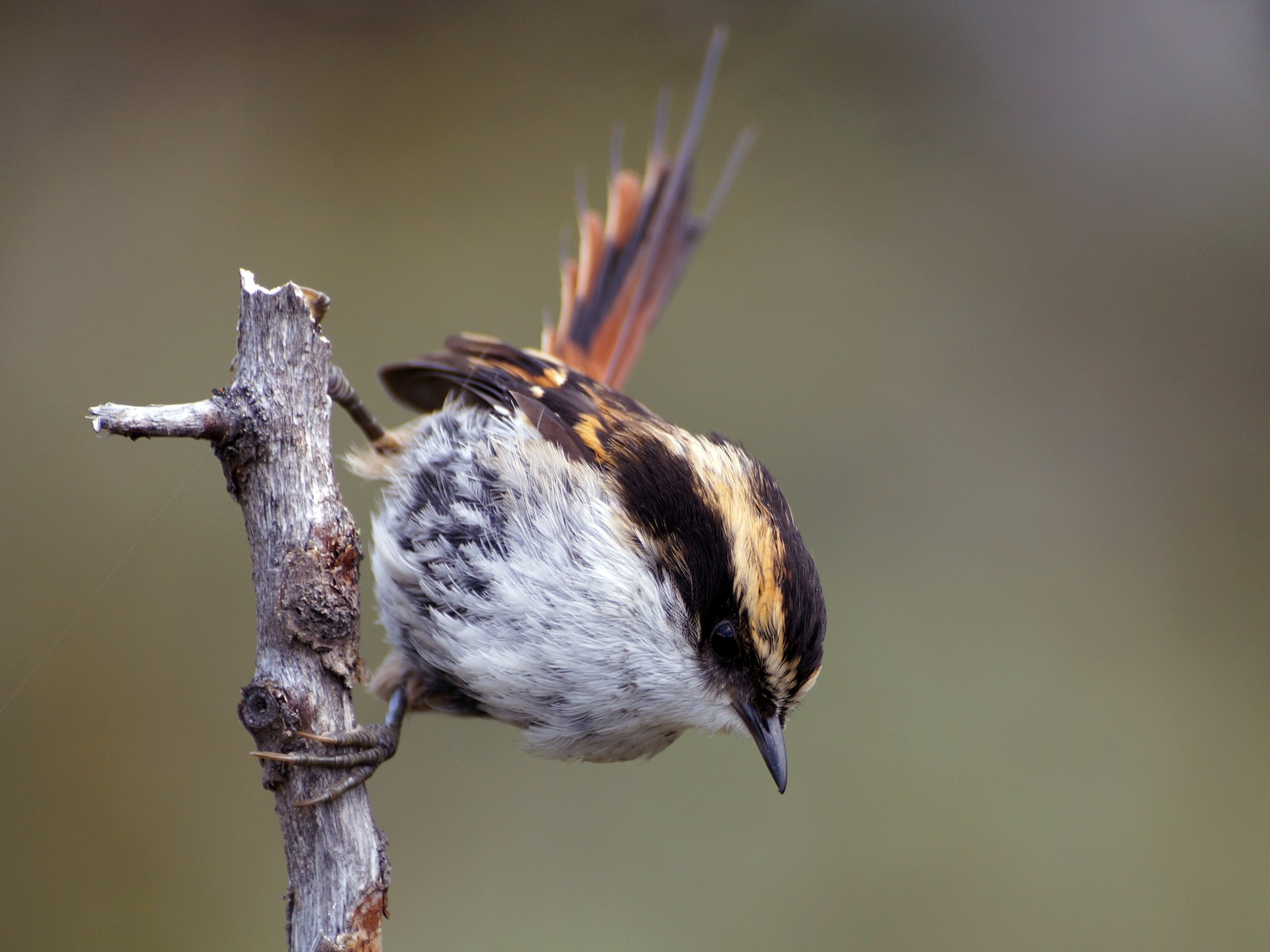 Thorn-tailed Rayadito - Eduardo Quintanilla
