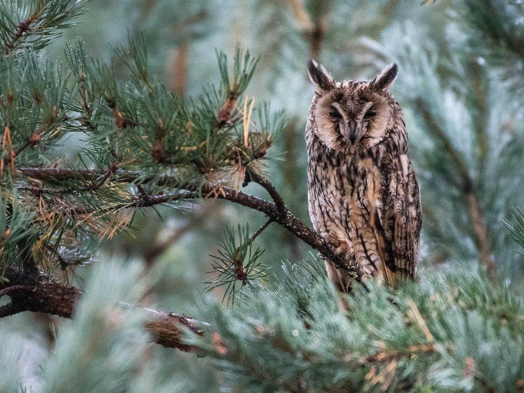 Long-eared Owl - Delia Walker